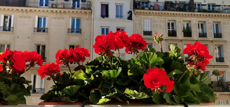 red geraniums in a window planter in a Paris apartment